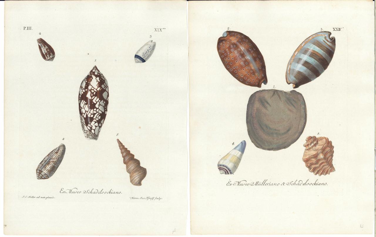 Lot 538: 7 Shell Engravings, 18th century