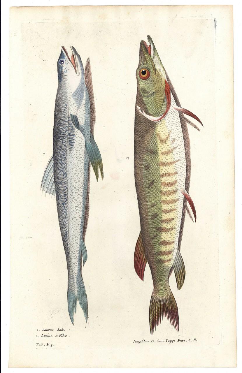 Lot 482: 4 Fish Engravings, F. Willughby Historia Piscium