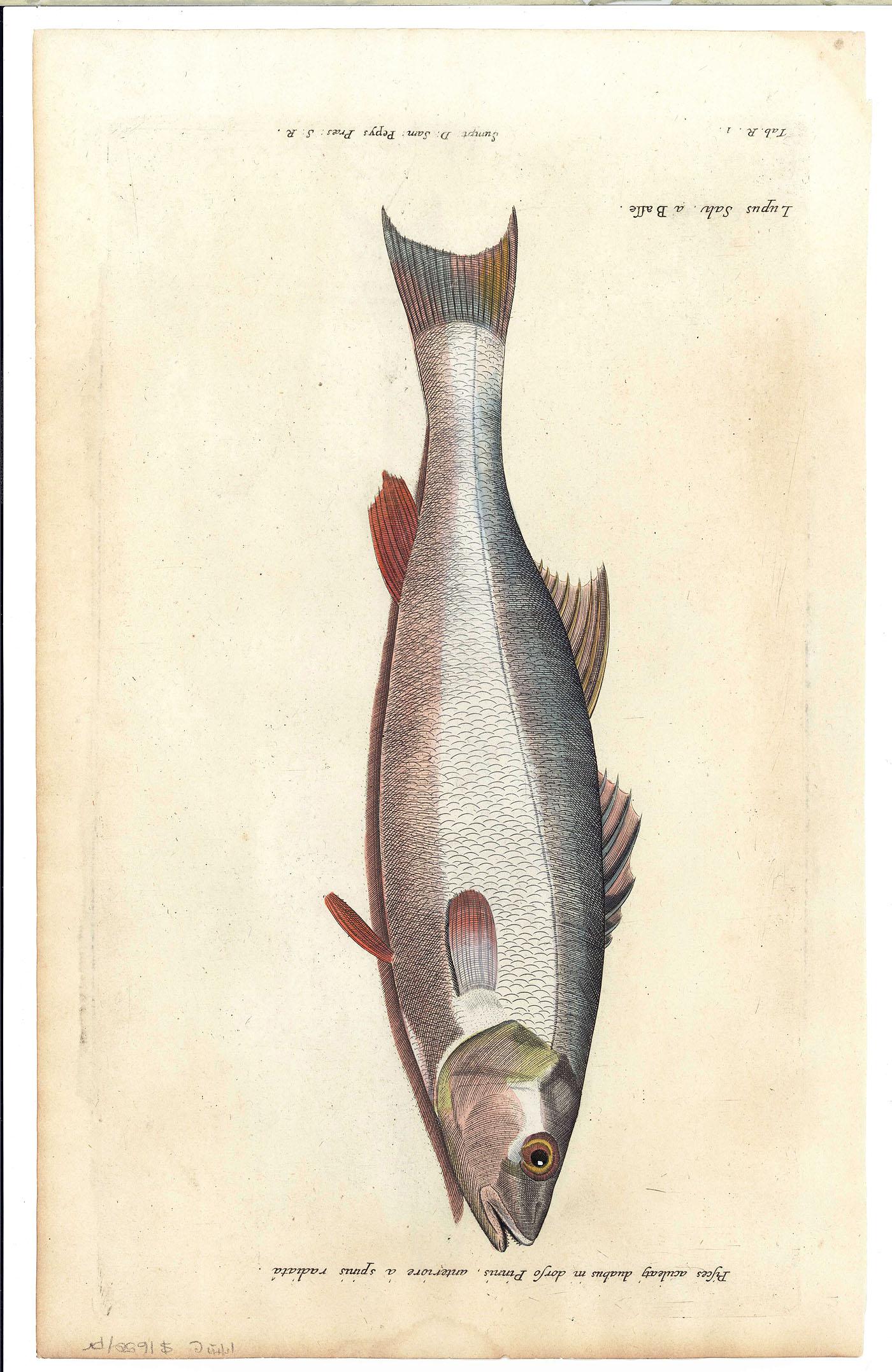 Lot 482 4 Fish Engravings F Willughby Historia Piscium