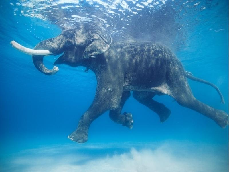 elephantswimmingjodymacdonald