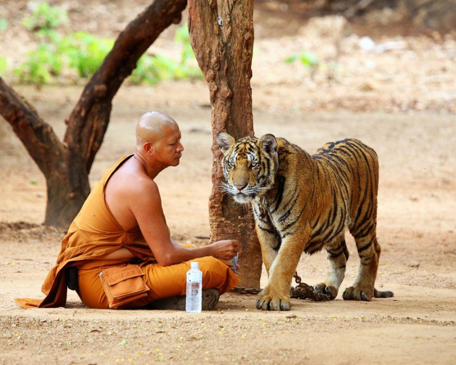 Tiger Temple - foto KAMONRAT - shutterstock.com