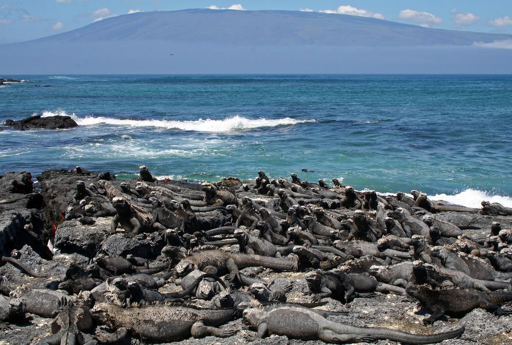 Iguanas da Ilha Fernandina (foto: Shutterstock: Mogens Trolle)