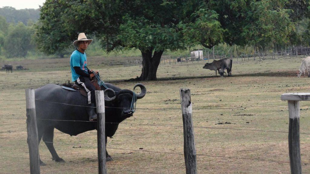 Passeio de Búfalo em Soure. Foto: Flávia Elisa Pereira