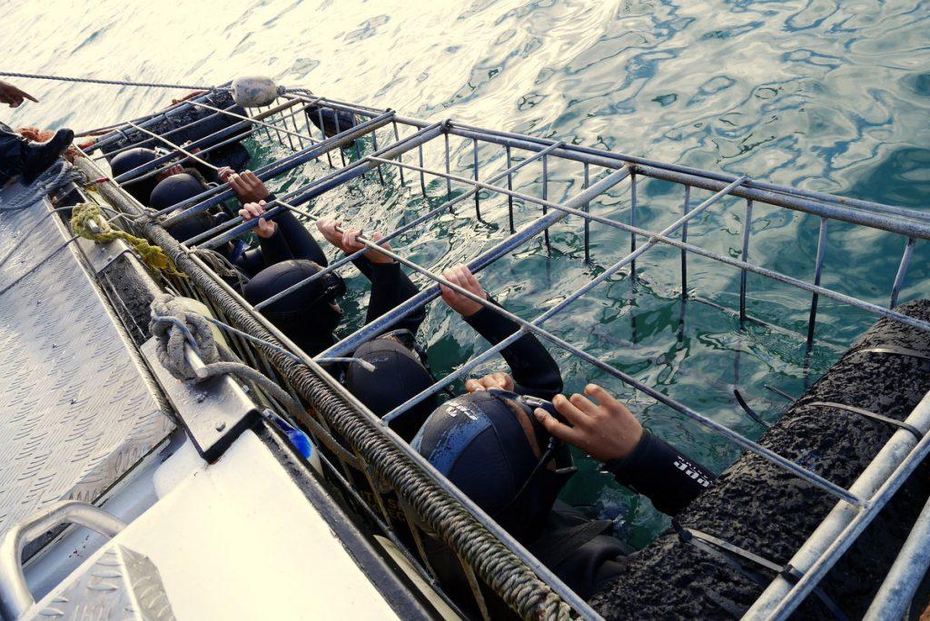 Prontos? O capitão fica acima da gaiola vendo se todas as regras de segurança estão sendo cumpridas. Colocar as mãos pra fora da gaiolaé absolutamente proibido, já que o tubarão não vai fazer distinção entre seu braço e o pedaço de peixe. E, sim, já teve gente perdendo a mão.