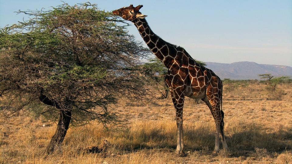 giraffe-562391_960_720