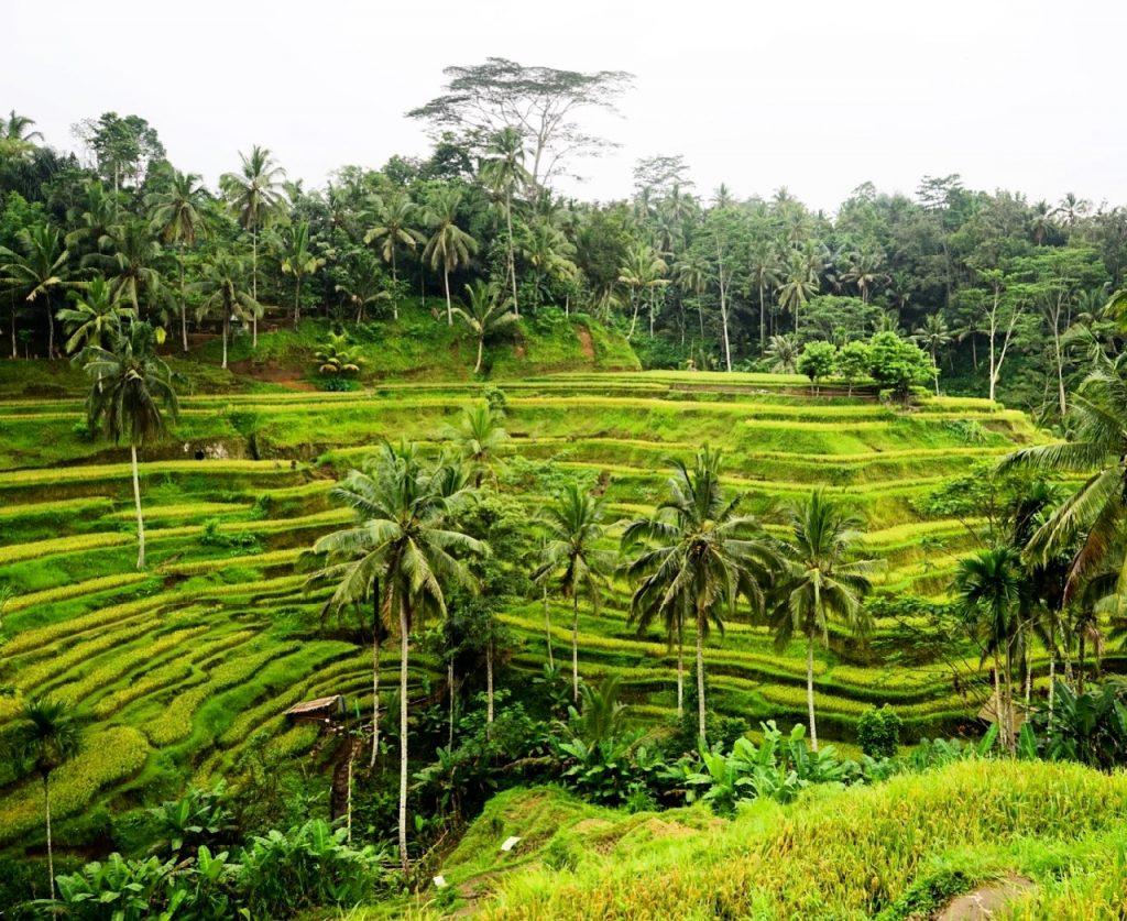 Tegallang Rice Terrace, Ubud, Bali. Foto: Lalai Persson