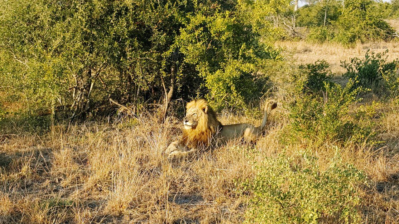 O grande rei da selva em momento descontraído. Foto: Jo Machado