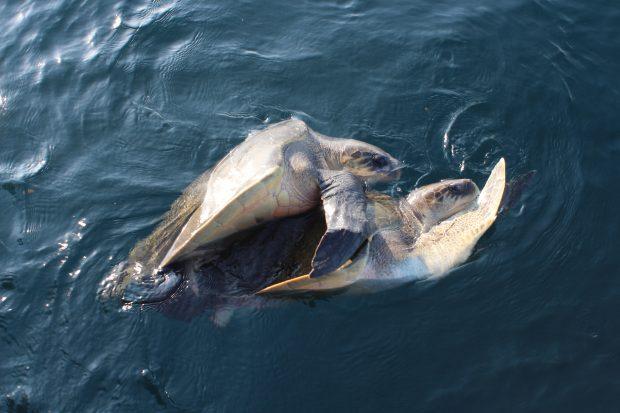 Tartarugas acasalando, Sri Lanka