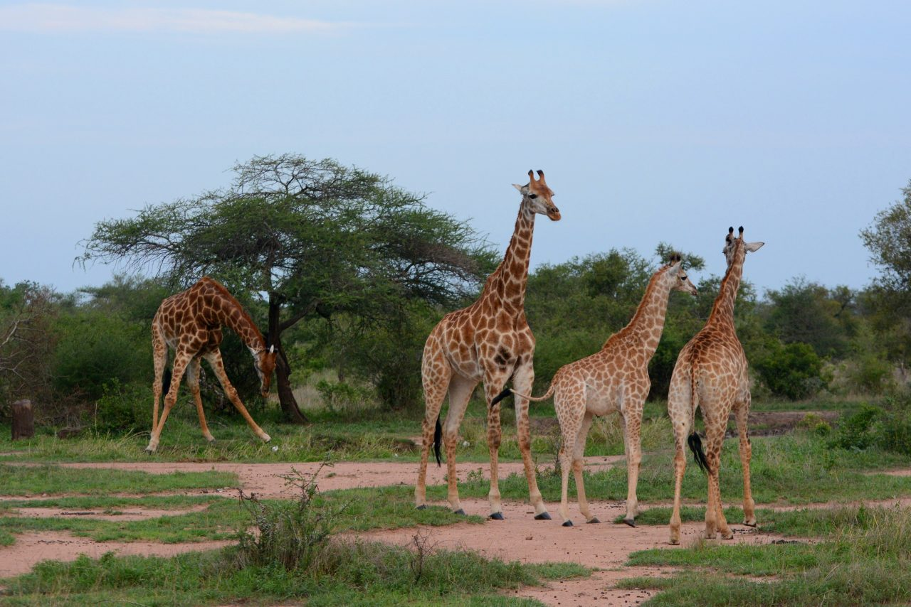giraffes_in_kruger_national_park_02