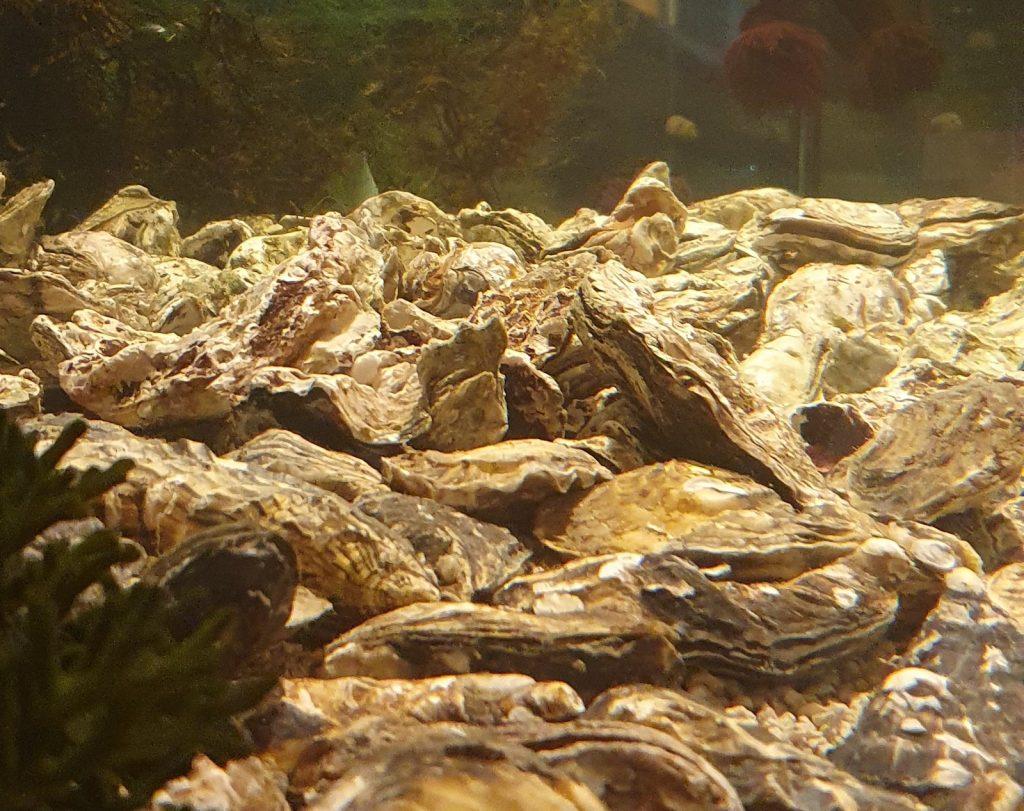 Aquário cheio de ostras vivas do chef Tuca Mezzomo
