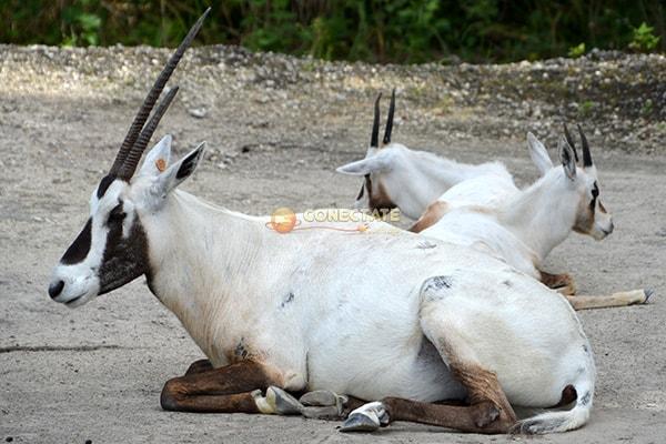Órice de Arabia Oryx leucoryx