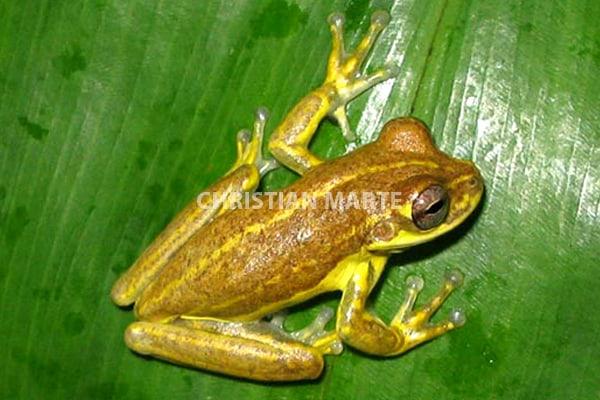 Rana Amarilla Osteopilus pulchrilineatus