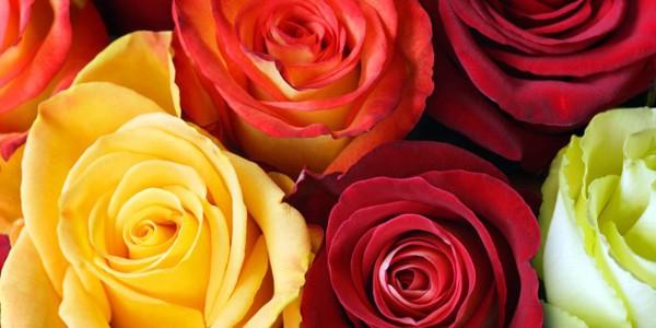 Rosas Ecuatorianas