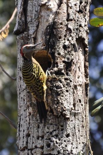 Hispaniolan Woodpecker Melanerpes Striatus