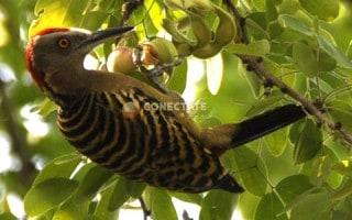 Hispaniolan Woodpecker