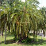 Palma Coccothrinax Ekmanii