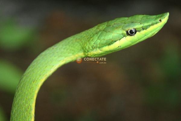 Culebra Verde Uromacer Oxyrhynchus