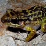 Rana Eleutherodactylus Alcoae