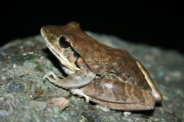 Rana Gigante Eleutherodactylus Inoptatus