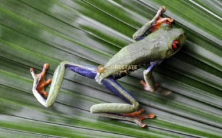 Rana Costa Rica