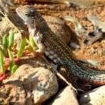 Hispaniolan Curlytail Lizard