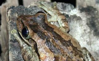 Rana Platanera Osteopilus dominicensis