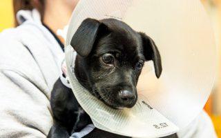 Beneficios de Castrar un Perro