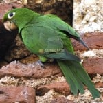 Perico Psittacara Chloropterus