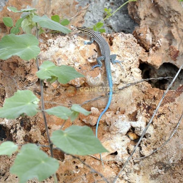 Lagartija Pigmea de Cola Azul Ameiva Lineolata