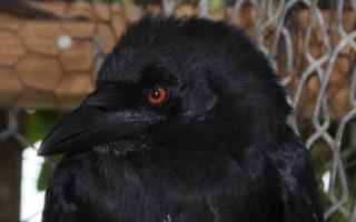 Cuervo de la Hispaniola Corvus leucognaphalus