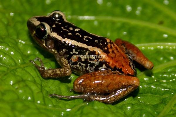Rana Eleutherodactylus Weinlandi