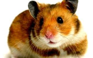 Cómo Cuidar un Hamster
