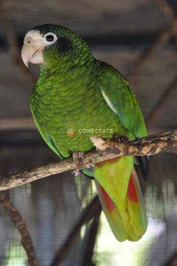 Cotorra Amazona Ventralis