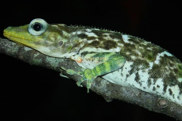 Salta Cocote Anolis Baleatus