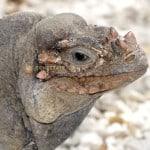 Iguana Rinoceronte Cyclura cornuta