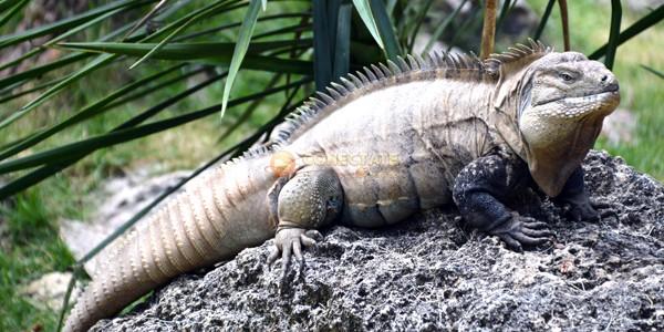 Iguana de Ricord Cyclura ricordi