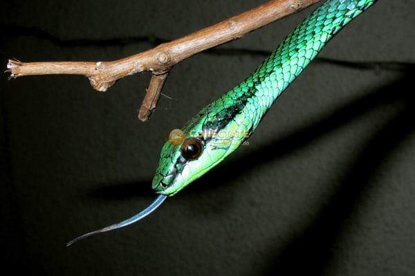 Culebra Verde Uromacer catesbyi
