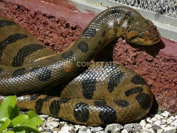 Anaconda ZOODOM