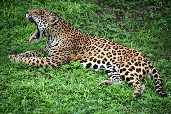 Jaguar ZOODOM