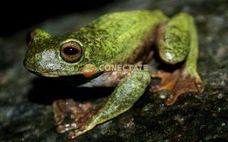 Rana Verde de la Hispaniola