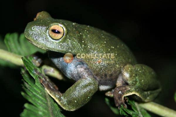 Rana Verde Hypsiboas heilprini
