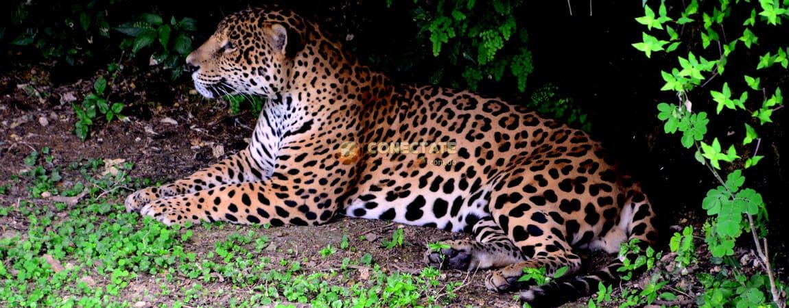 jaguar-zoodom5