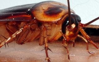 Cómo Eliminar las Cucarachas de la Casa
