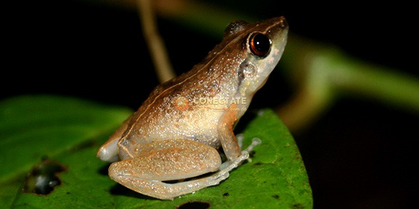 Calcalí Eleutherodactylus abbotti