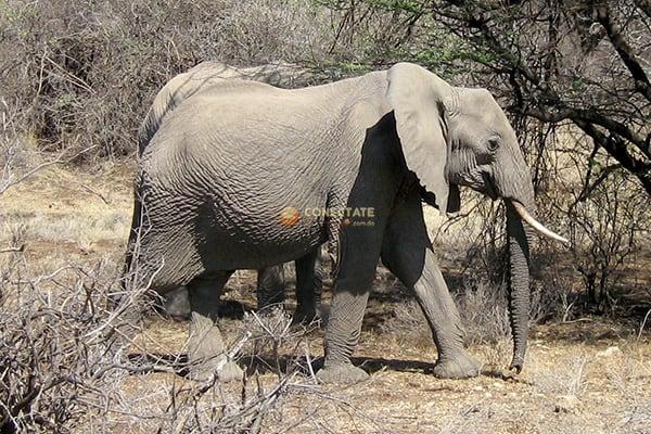Elefante Kenia