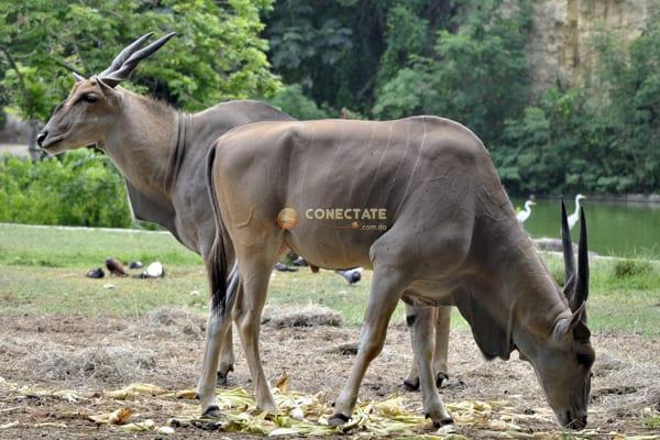 Eland Común