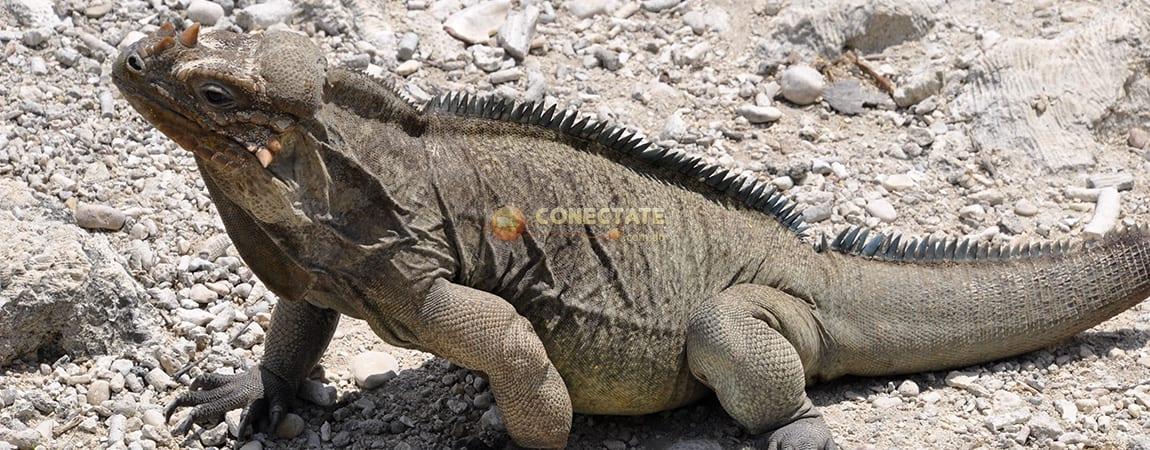 iguana-rinoceronte-lago-enriquillo1