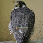halcon-peregrino-santo-domingo