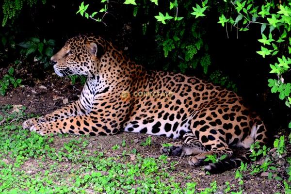 jaguar-zoodom3
