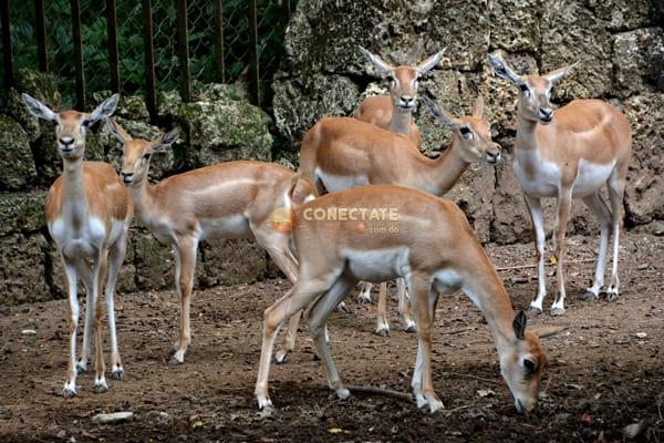 Antilope Indio ZOODOM 2